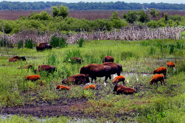 Bison at Paynes Prairie